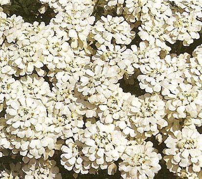 Corbelle d 39 argent aux serres du breuil for Fleurs blanches vivaces